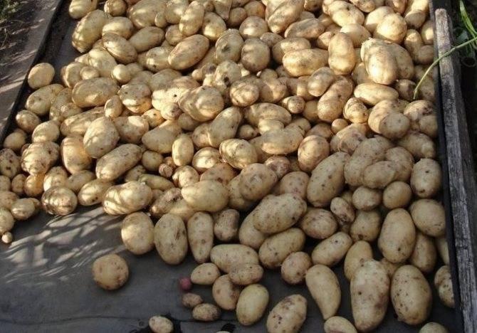 Когда копать картофель на хранение, чтобы сохранить ее на всю зиму. точные рекомендации.   красивый дом и сад