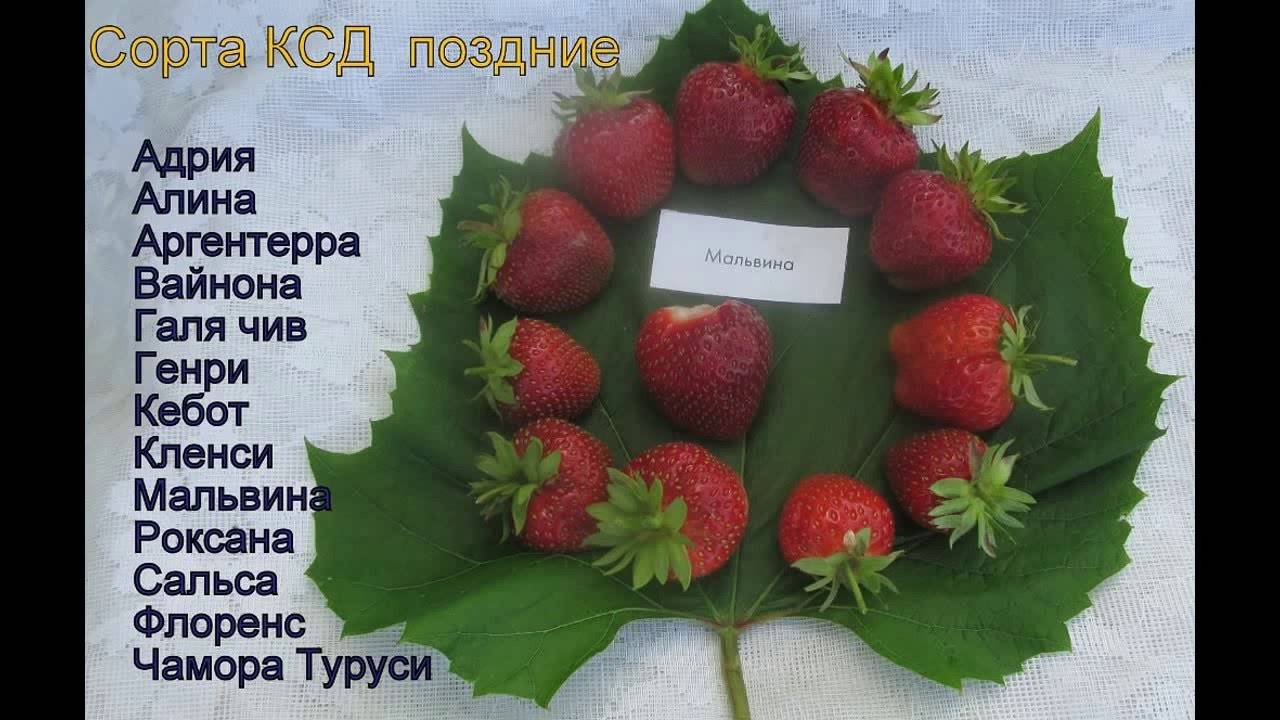 Клубника викода: описание сорта, фото и отзывы садоводов