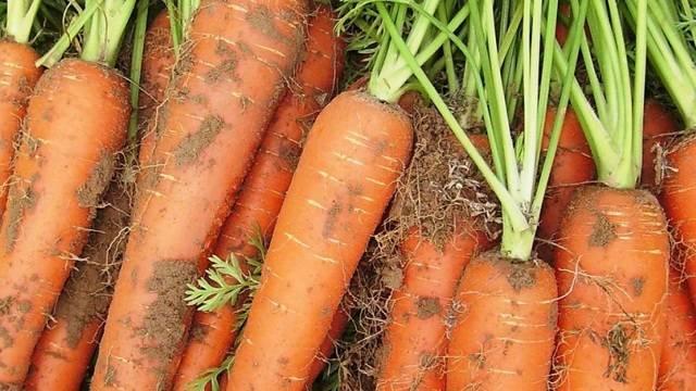 Морковь сорта московская зимняя — особенности выращивания и ухода