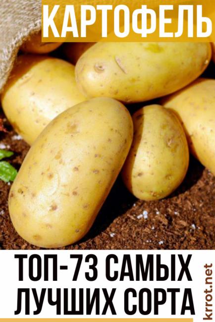 Как выращивать картофель сорта пикассо