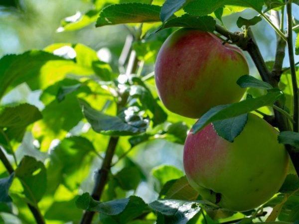 Алтайская яблоня антоша