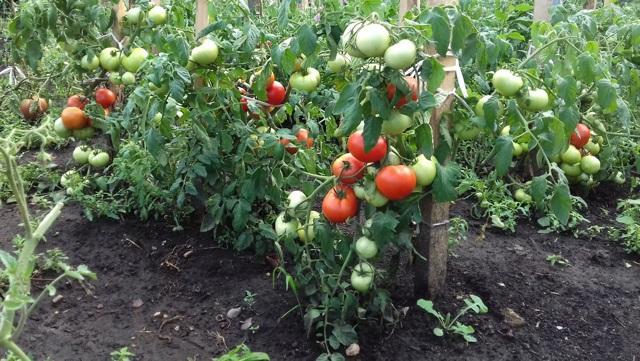 Аппетитный черри конфетное дерево f1: отзывы об урожайности, описание и характеристики сорта