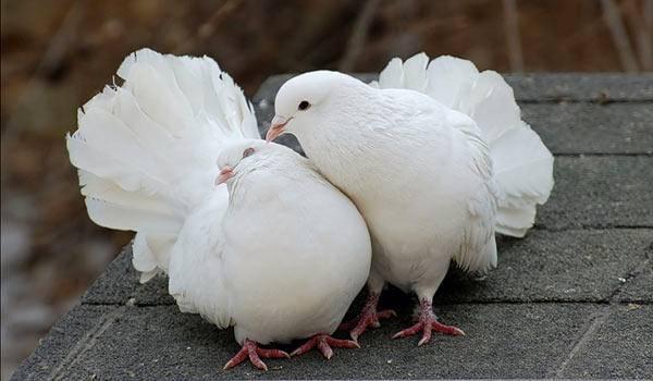 Сколько лет живут голуби городские и дикие?