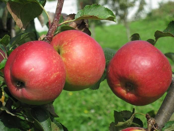 Особенности посадки и ухода яблони сорта жигулевское