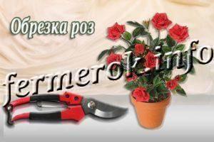 Флоксы: уход осенью, обрезка, подкормка, укрытие на зиму