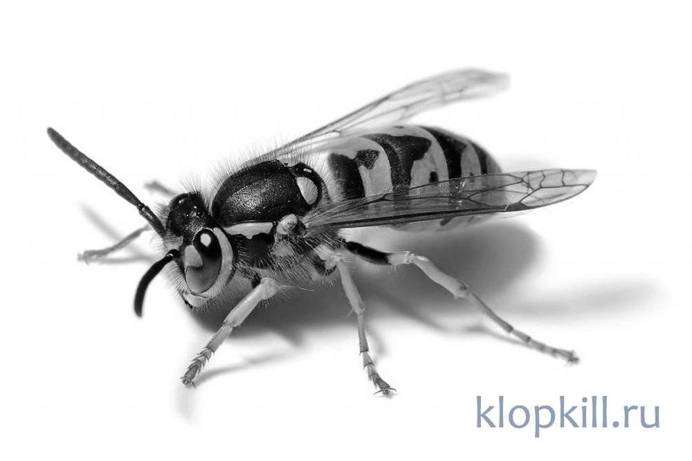 Чего боятся осы: список отпугивающих средств и методов для использования в саду и жилом доме