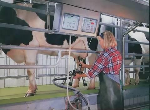 Как правильно доить корову?