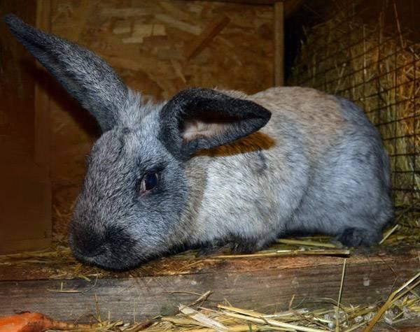 Лечение вирусной геморрагической болезни кроликов