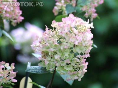 Гортензия метельчатая: сорта и фото