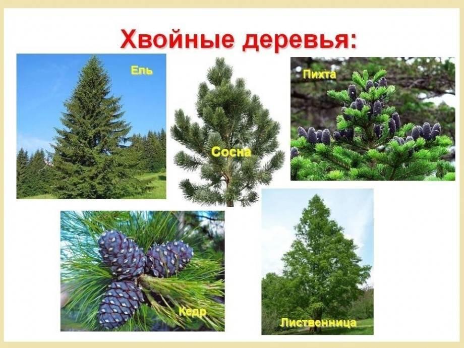 Лиственница: какое дерево — хвойное или лиственное, характеристика, особенности и свойства растения