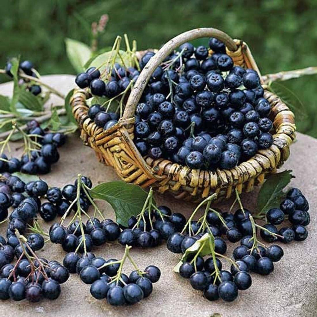Лечебные свойства черноплодной рябины, польза и вред, рецепты приготовления
