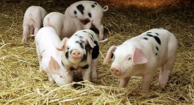 Кастрация свиней в половозрелом возрасте