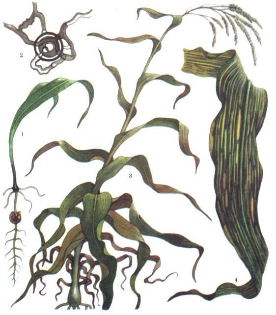 Вредители и болезни кукурузы и меры борьбы с ними