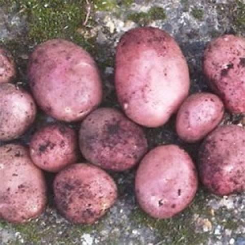 Сорт картофеля «триумф»: характеристика, описание, урожайность, отзывы и фото