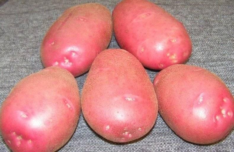 Описание, характеристика и особенности выращивания кратофеля беллароза