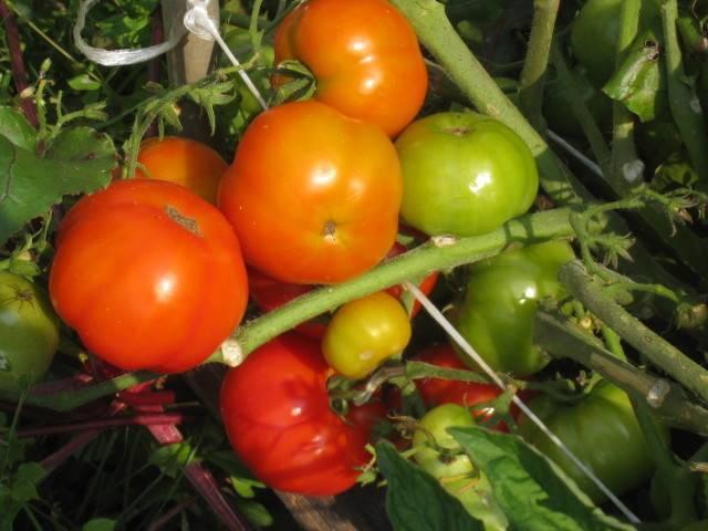 Помидоры бони м выращивание