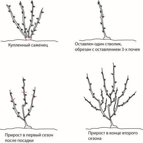 Крыжовник раволт: основные характеристики и внешний вид