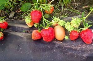 Описание и характеристики клубники сорта мурано, выращивание и размножение