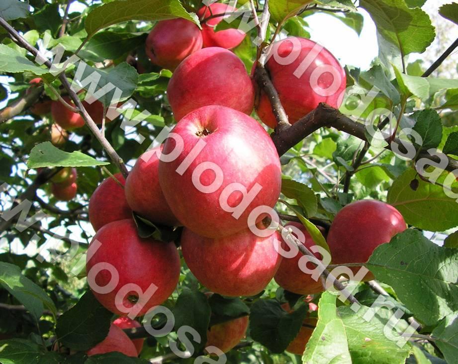 Характеристики и описание сорта яблони пепин шафранный, особенности выращивания и ухода