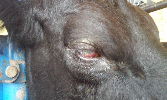 О болезнях коров и крупного рогатого скота: симптомы, лечение (что делать)