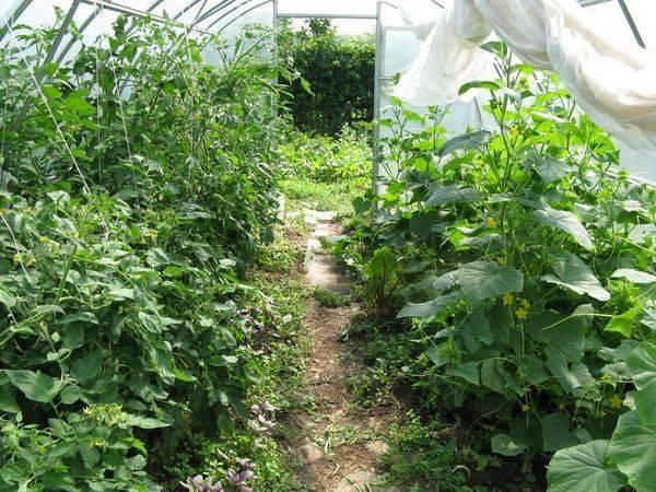 Выращиваем огурцы в теплице – как и когда сажать правильно
