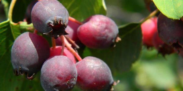 Сорта ирги и её виды: описание, плодоношение и выращивание