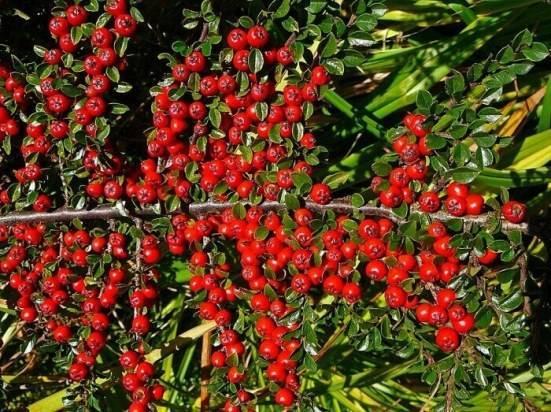 Кизильники: выращивание и размножение, формирование живых изгородей