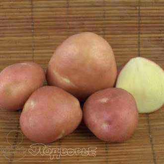 Картофель ирбитский — описание сорта, фото, отзывы, посадка и уход