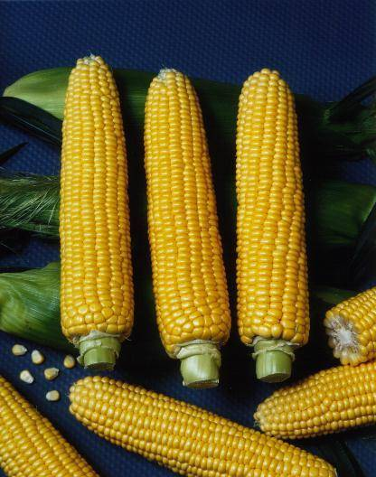 Лучшие сорта кукурузы и их описание