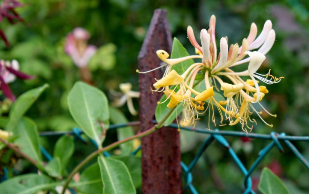 Жимолость декоративная: особенности растения