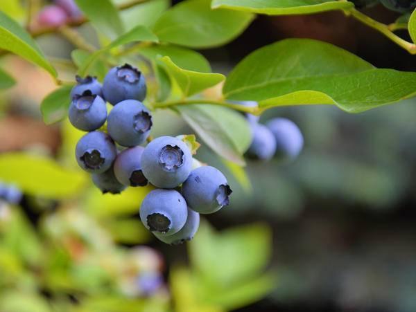 Почему не цветет и не плодоносит виноград и что делать, меры профилактики