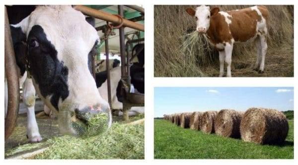 Кормление коров – нормы и рационы для крс 2020