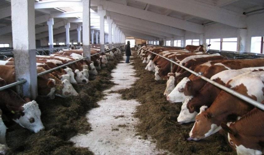 В чем особенность беспривязного содержания коров?