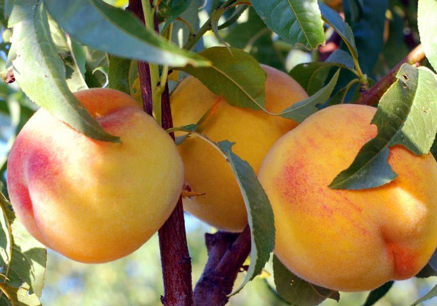 Персик колоновидный: описание сортов с фото и названиями