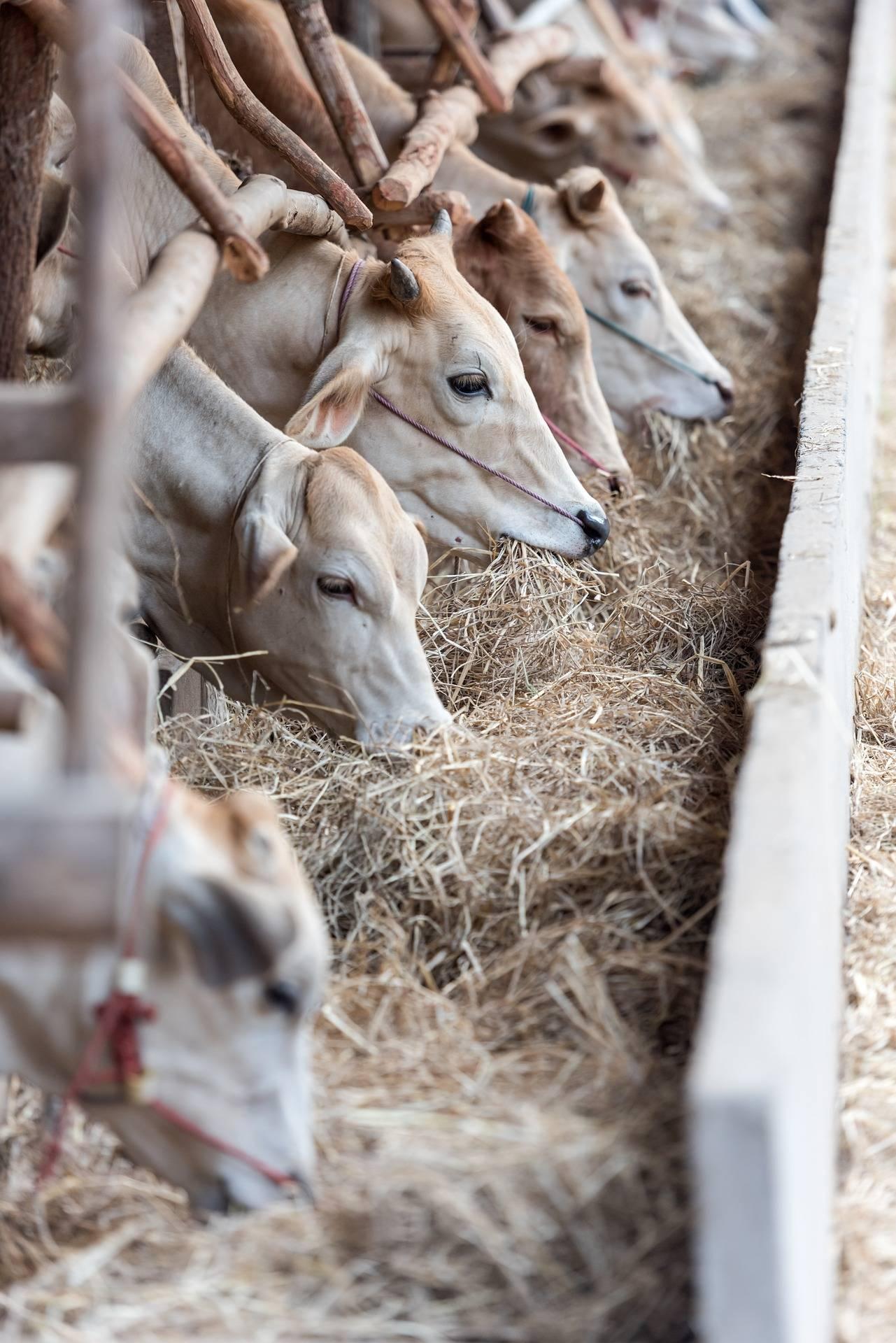 Болезни копыт у коров: описание симптомов, причин, лечения, профилактики