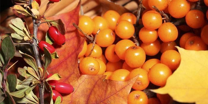 Облепиха – полезные свойства и противопоказания для организма