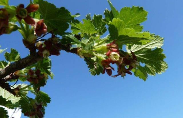Крыжовник английский жёлтый — янтарная сладость в любимом саду