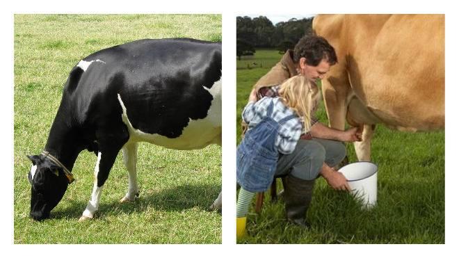 Как правильно доить коров, чтобы увеличить удой: особенности подготовки, рекомендации по уходу за выменем