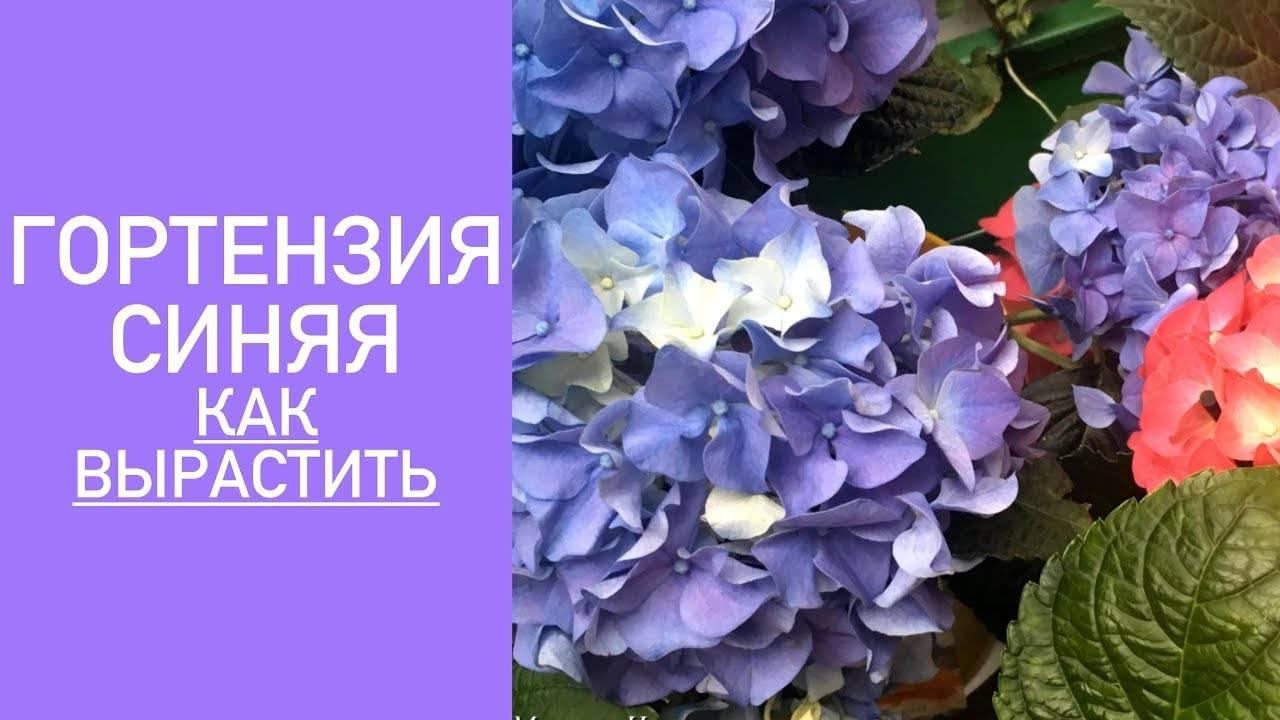 Голубая и синяя гортензия: описание и разновидности, посадка и уход