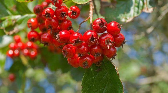 Цветы боярышника: лечебные свойства и противопоказания, применение