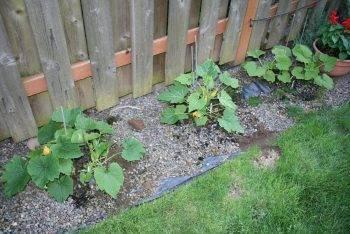 Кабачки: семена - лучшие сорта - подробная информация!