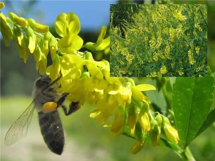 Лучшие медоносные растения – обзор по группам