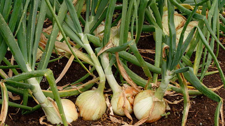 Чем подкормить чеснок весной. натуральная подкормка чеснока весной. целых 5 вариантов!   красивый дом и сад