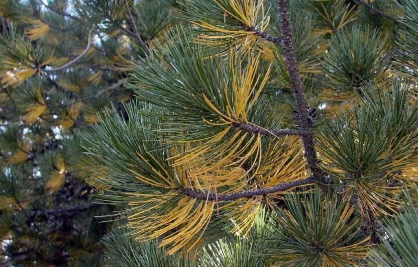 Сосна желтеет: что делать, если хвоя желтеет после зимы? чем ее подкормить, если иголки желтеют и сохнут после посадки?
