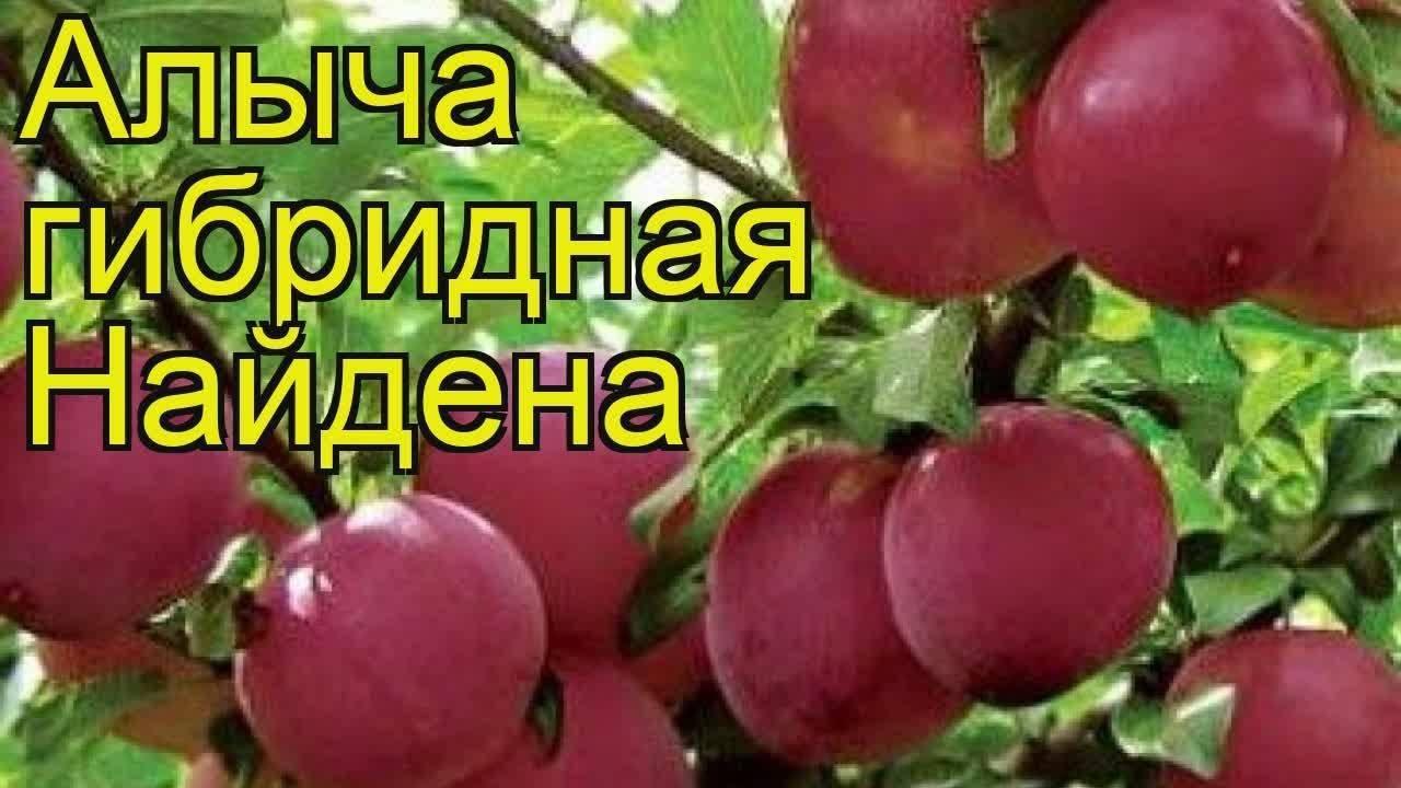 Слива русская (алыча гибридная)