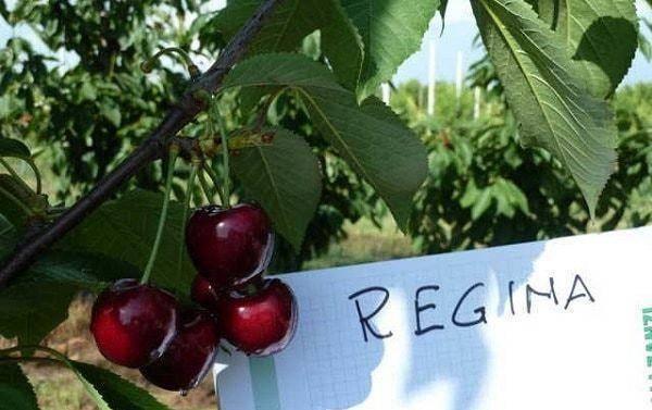 Регина — европейская черешня высокого качества