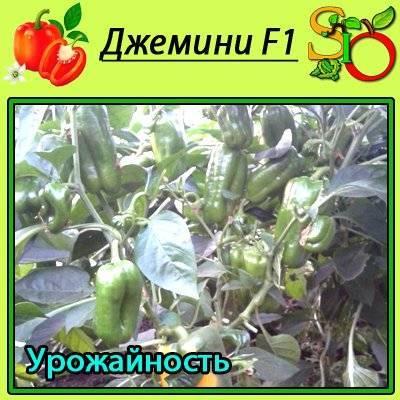 Перец биг мама: характеристика и урожайность