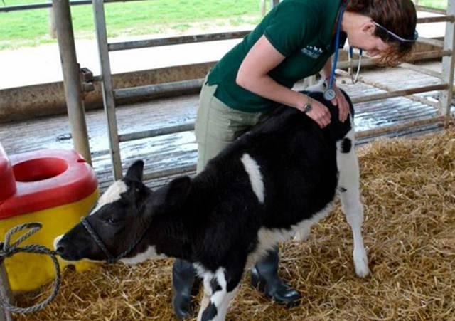 Как лечить от кашля теленка