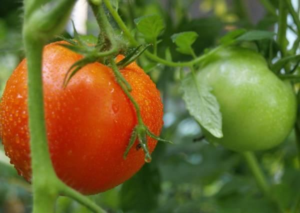 Раннеспелый томат «афродита f1»: описание сорта и особенности выращивания