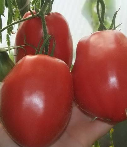 Томат фляшен: описание сорта, отзывы, урожайность